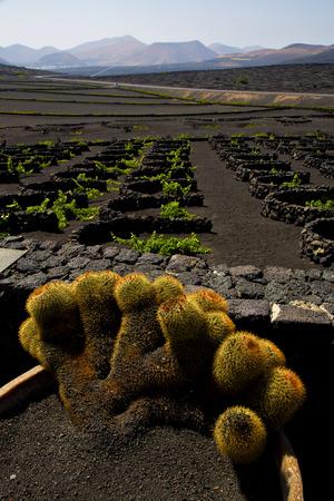 viticulture: cactus  lanzarote spain la geria vine screw grapes wall crops  cultivation viticulture winery