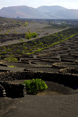 viticulture: viticulture  winery lanzarote spain la geria vine screw grapes wall crops  cultivation
