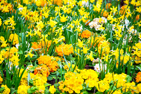 champ de fleurs: in london yellow flower field nature and spring Banque d'images