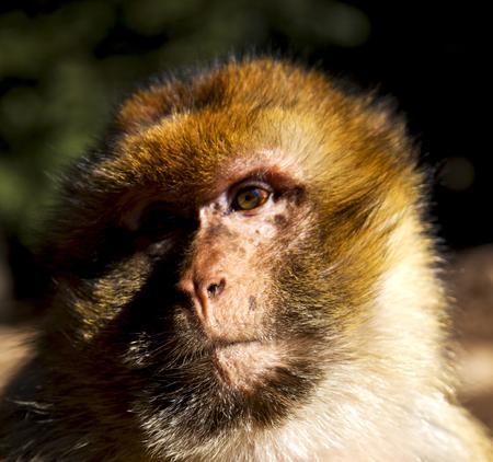 biped: africa in morocco cedar forest the primitive  monkey animal wildlife