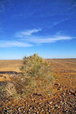 dactylifera: palm in the  desert oasi morocco sahara africa dune Stock Photo