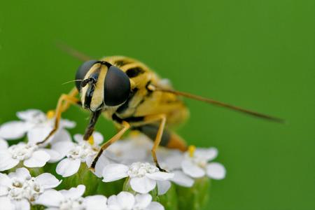 diptera: front of wild fly diptera syrphidae volucella zonaria syrphus ribesii  eristalis on a white yellow flower Stock Photo