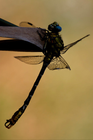 libellulidae: wild black yellow dragonfly anax imperator on a wood leaf  in the bush Stock Photo