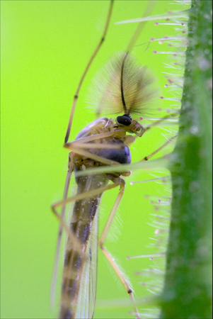 culicidae: side of wild fly  chironomidae chironomus riparius culicidae culex mosquito  on a green branch Stock Photo