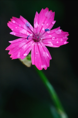 angustifolium: macro close of  a violet pink geranium dissectum cariofillacee in green background and drop