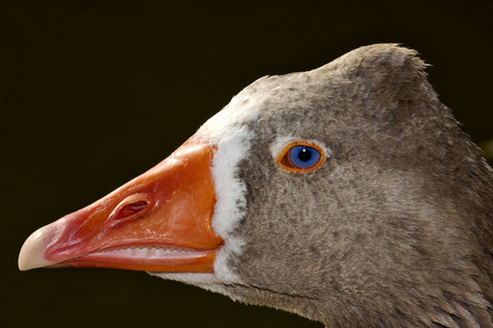 beck: a brown duck whit blue eye in buenos aires argentina