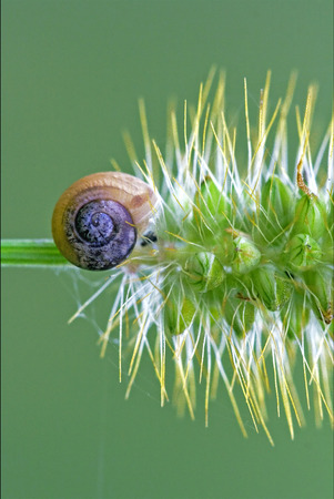 gastropoda: side of wild brown snail gastropoda  phyla minori on a flower  in the bush