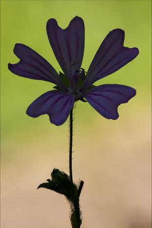 alcea: violet flower malva alcea moschata sylvestris lavatea arborea  punctata  thuringiaca  malvacee trimestris