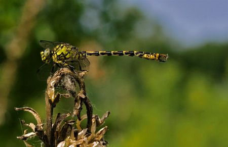 jaune noir: side of wild  yellow black dragonfly anax imperator on a wood branch  in the bush Banque d'images