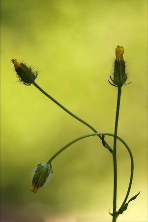 hieracium: yellow flower  hypochoeris radicata hypochoeris glabra hypochoeris achyrophorus  reicgardia picroides picridium vulgare  picridium tingitana crepis sancta crepis bursiflora hieracium pilosella  hieracium sylvaticum picris hieracioides