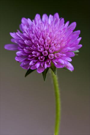 mentha: dispsacacea labiate mentha aquatica scabioso violet flower Stock Photo