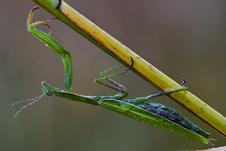 mantodea: close up of wild side of praying mantis mantodea on a green brown branch in the bush