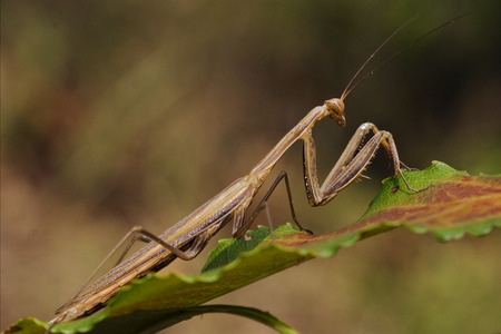 mantodea: close up of wild side of praying mantis mantodea on a green brown left  in the bush
