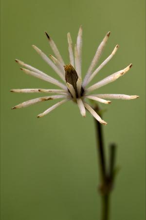 trifolium repens: macro close of  a yellow white leguminose  in green background Stock Photo