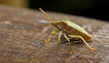 pentatomidae: side of wild fly hemiptera Nezara Virdula Heteroptera pentatomidae palomena prasina on a wood