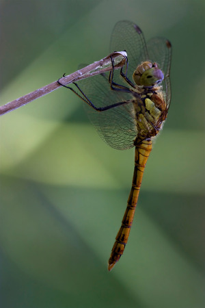 libellulidae: wild black yellow dragonfly on a wood branch  in the bush Stock Photo