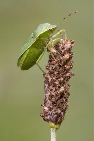 pentatomidae: side of wild fly hemiptera Nezara Virdula Heteroptera pentatomidae palomena prasina on a flower Stock Photo