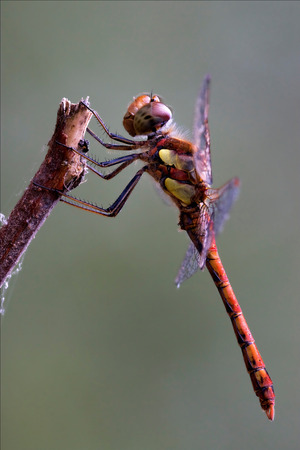 imperator: wild red yellow dragonfly on a wood branch  in the bush Stock Photo