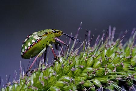 pentatomidae: side of wild  hemiptera fly Nezara Virdula Heteroptera pentatomidae palomena prasina on a flower