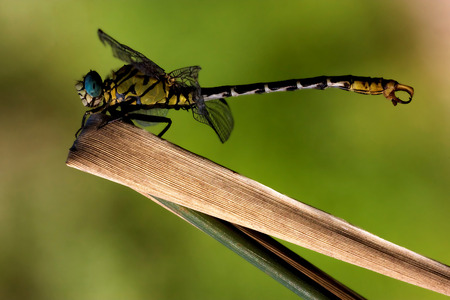 jaune noir: side of  wild  yellow black dragonfly anax imperator on a wood leaf  in the bush