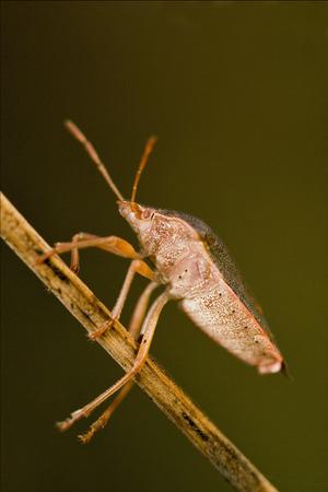 pentatomidae: side of wild fly hemiptera Nezara Virdula Heteroptera pentatomidae palomena prasina in the bush Stock Photo