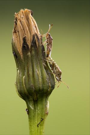 palomena prasina: side of wild fly hemiptera Nezara Virdula Heteroptera pentatomidae palomena prasina on a flower and reproduction Stock Photo