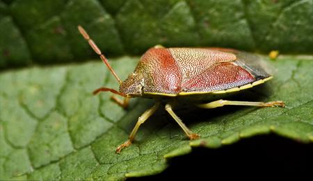 pentatomidae: side of wild fly hemiptera Nezara Virdula Heteroptera pentatomidae palomena prasina
