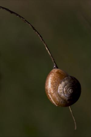 gastropoda: side of wild brown snail gastropoda  phyla minori on a brown branch  in the bush