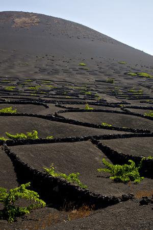 viticulture: la geria wall grapes cultivation  viticulture  winery lanzarote spain  vine screw  crops