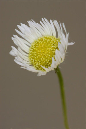 chamomilla: macro close up of a yellow white daisy composite chamomilla in background Stock Photo