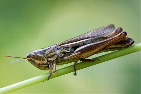 chorthippus: brown  grasshopper chorthippus brunneus in a green sprig