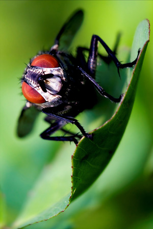 diptera: close up of wild fly  diptera calliphoridae calliphpora vicina  pollenia rydis  on a grey left  in the bush