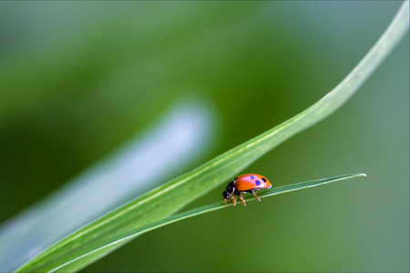 coccinellidae: the side of  wild red ladybug coccinellidae anatis ocellata coleoptera on a grass