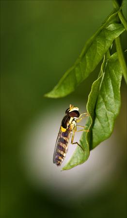 diptera: side of wild fly diptera syrphidae volucella zonaria syrphus ribesii  eristalis on a green leaf Stock Photo