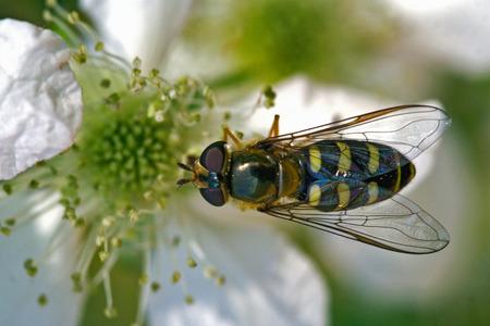 diptera: side of wild fly diptera syrphidae volucella zonaria syrphus ribesii  eristalis on a white yellow flower