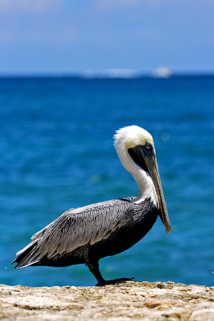 romana: side of little white black pelican whit black eye in rock republica dominicana la romana