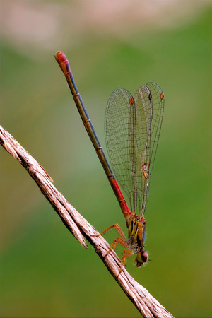 libellulidae: side of wild  red black dragonfly coenagrion puella on a flower in the bush Stock Photo