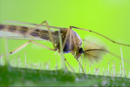 side of wild fly  chironomidae chironomus riparius culicidae culex mosquito  on a green branch Standard-Bild