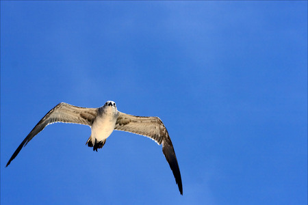 sea gull: the down of sea gull flying  in the sky in mexico playa del carmen