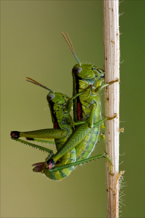 having sex: close up of two grasshopper Orthopterous having sex on a piece of branch in the bush Stock Photo