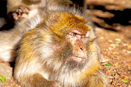 fauna: old monkey in africa morocco and natural background fauna    close up