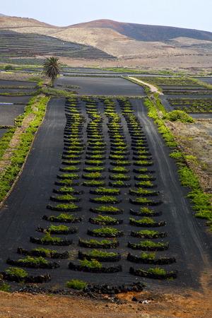 viticulture: lanzarote spain la geria vine screw grapes wall crops  cultivation viticulture winery,