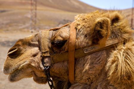 saddle camel: sky timanfaya spain africa brown dromedary bite in the volcanic  lanzarote