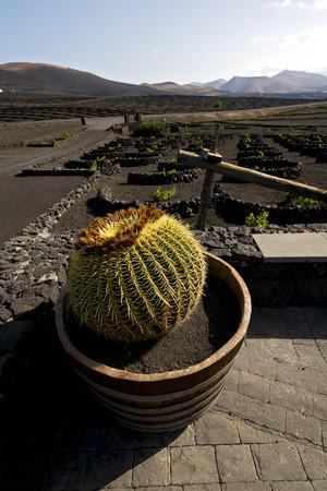 viticulture: cactus wall grapes cultivation  viticulture  winery lanzarote spain la geria vine screw  crops