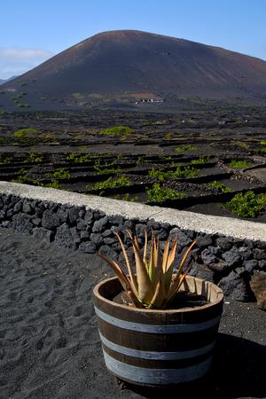 viticulture: cactus  viticulture  winery lanzarote spain la geria vine screw grapes wall crops  cultivation