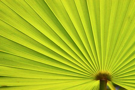 bahama: green texture of a palm in the isle bahamas Stock Photo