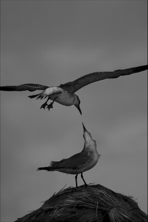 flying kiss: side of brown sea gull flying in straw mexico tulum
