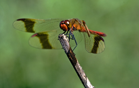 front of wild red dragonfly on a wood branch  in the bush