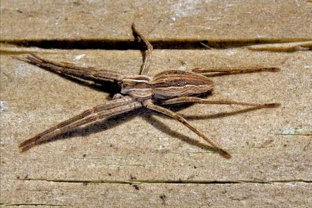 pisauridae: pisauridae pisaura mirabilis agelenidae tegenaria gigantea  thomisidae tibellus oblungus thomisidae heteropodidae heteropods sicariidae loxosceles rufescens  misumena vatia