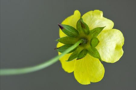 trifolium repens: rear macro close up of a yellow geum urbanum rosacee leguminose  in grey background
